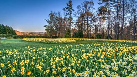 Gibbs Garden Daffodils